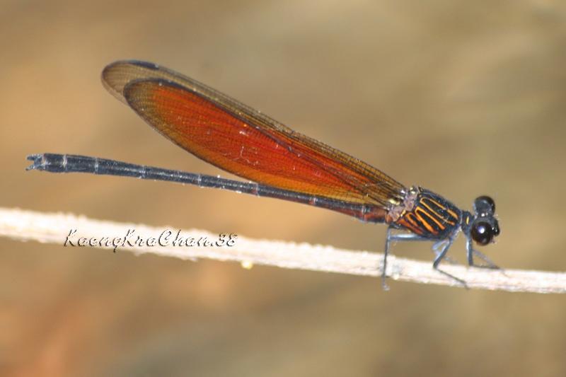 แมลงปอเข็มน้ำตกสีตาลแดง ตัวผู้