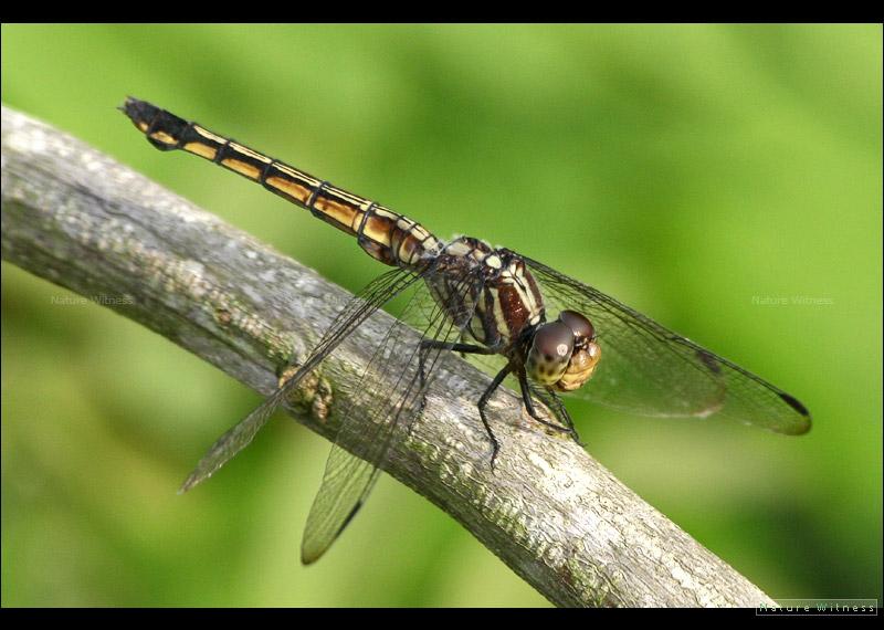 Potamarcha congener แมลงปอบ้านทุ่งขนเทา ตัวเมีย
