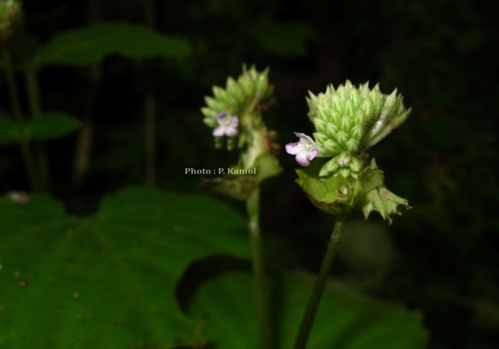 Epithema carnosum Benth. รังผึ้ง