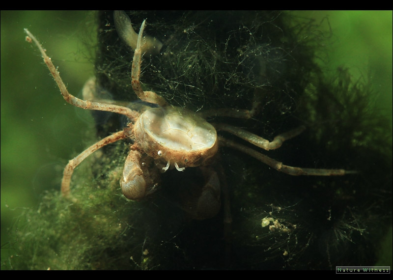 ปูแมงมุมน้ำจืด
