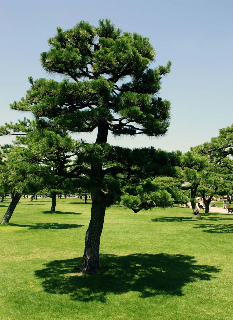 Japanese pine at Imperial Palace
