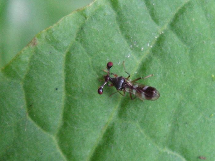 แมลงวันก้านตายาว?.jpg