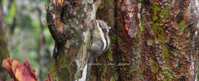 western striped squirrel