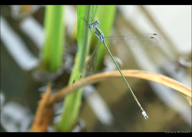 แมลงปอเข็มป่าสีฟ้าปลายขาว Lestes elatus