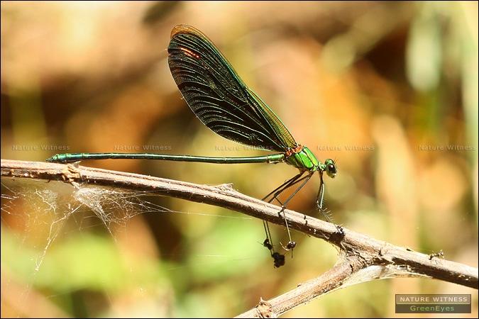แมลงปอเข็มน้ำตกจีนก็โดนมดเล่นงาน สังเกตที่ขาครับ มดกัดคาขาหลายตัวเลย
