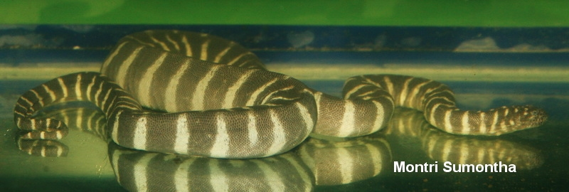 งูผ้าขี้ริ้ว