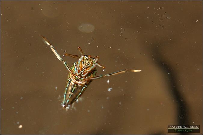 แมลงน้ำ .. มวนกรรเชียงหรือเปล่า
