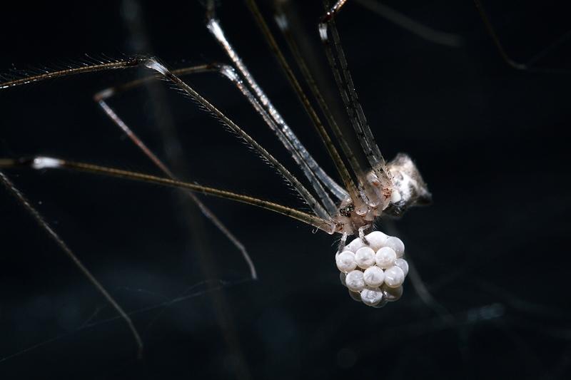 แมงมุมขายาว Crossopriza lyoni กำลังอุ้มไข่