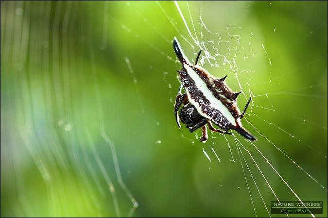 แมงมุมหลังหนามอินทนนท์ (ตั้งชื่อให้เลย เจอฟอร์มนี้ทุกที)