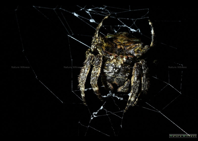 Poltys sp. ?  Orb Weaver ขนาดรังกว้างเกือบเมตร ขนาดตัวไม่รวมขาประมาณเหรียญสิบ
