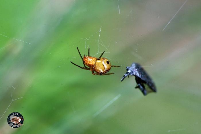 แมงมุมสกุล Theridion วงศ์ Theridiidae ใช้ใบไม้เป็นรังอาศัย
