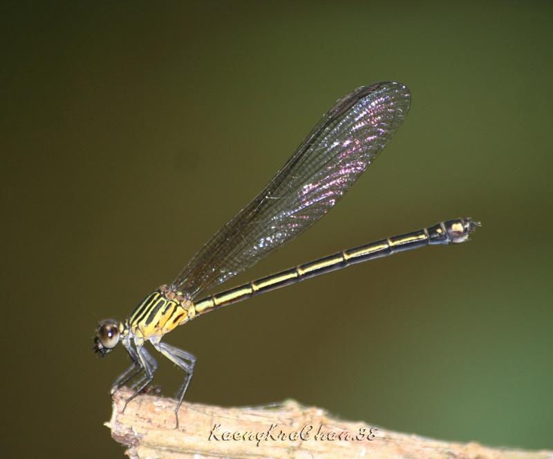 แมลงปอเข็มน้ำตกสีตาลแดง ตัวเมีย