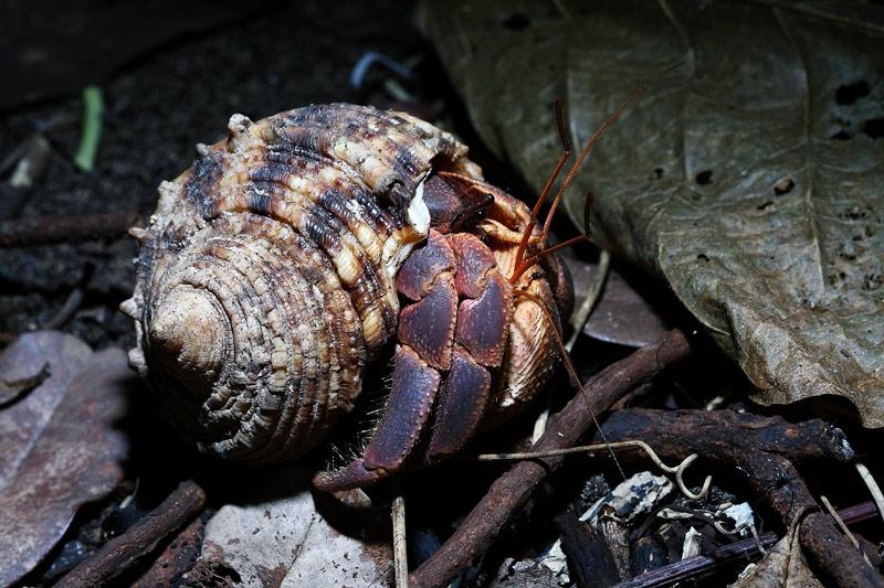 ปูเสฉวนบกยักษ์ Coenobita brevimanus