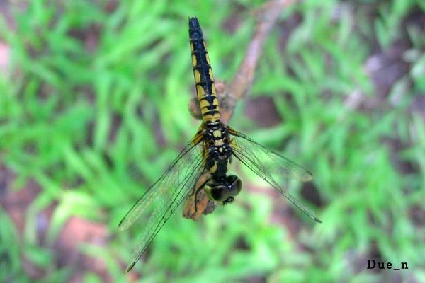Aethriamanta-aethra-female.jpg