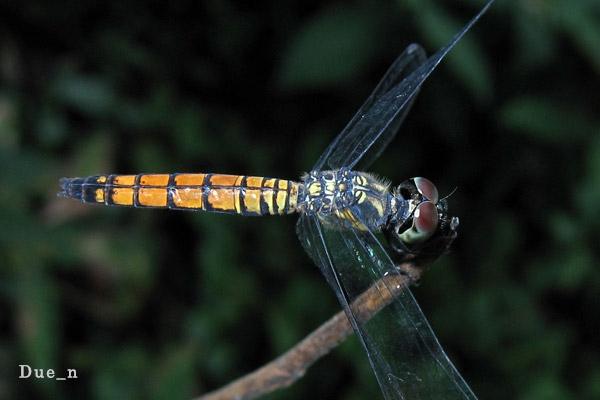 Brachydiplax-farinosa-femal.jpg