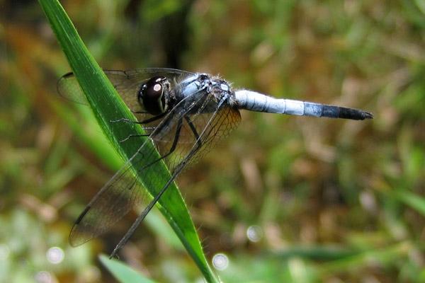 Brachydiplax-farinosa.jpg