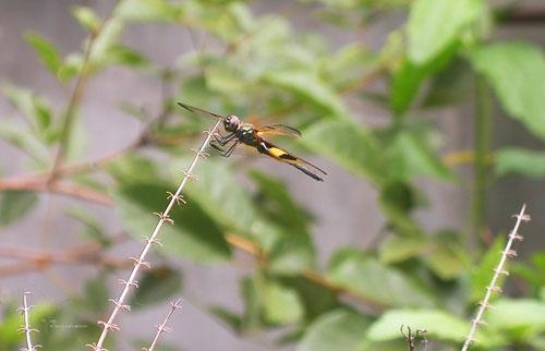 Dragonfly7.jpg