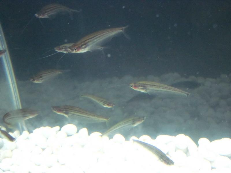 ปลาก้างพระร่วงป่าพรุ