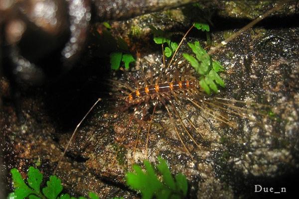 ตะขาบขายาว House centipede