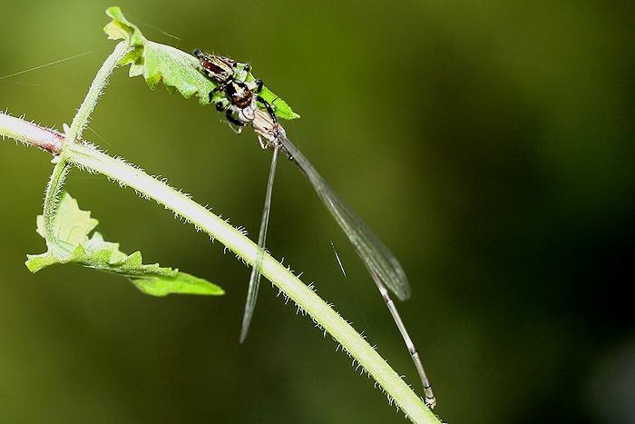 แมงมุมกระโดดกับแมลงปอเข็มอะหยังหว่า