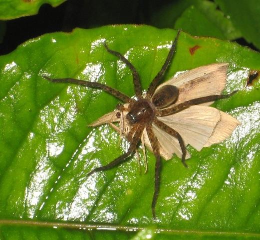แมงมุมจับผีเสื้อกลางคืนกินเป็นอาหาร