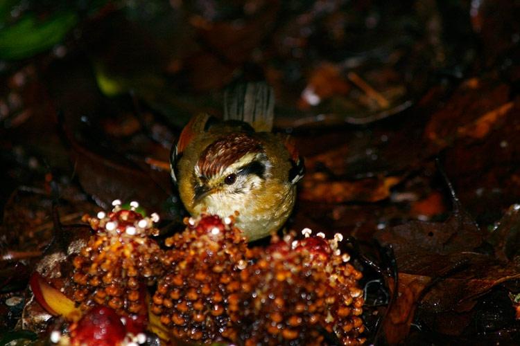 นกมุ่นรกหัวน้ำตาลแดง ลงมากินขนุนดินถึงพื้น