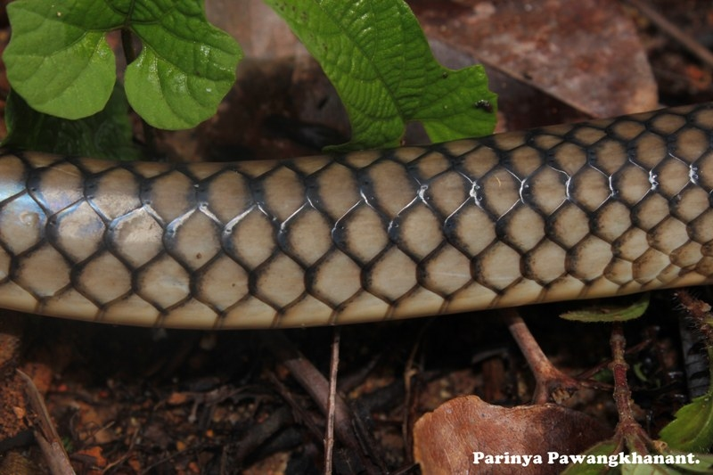 Rat snake scale