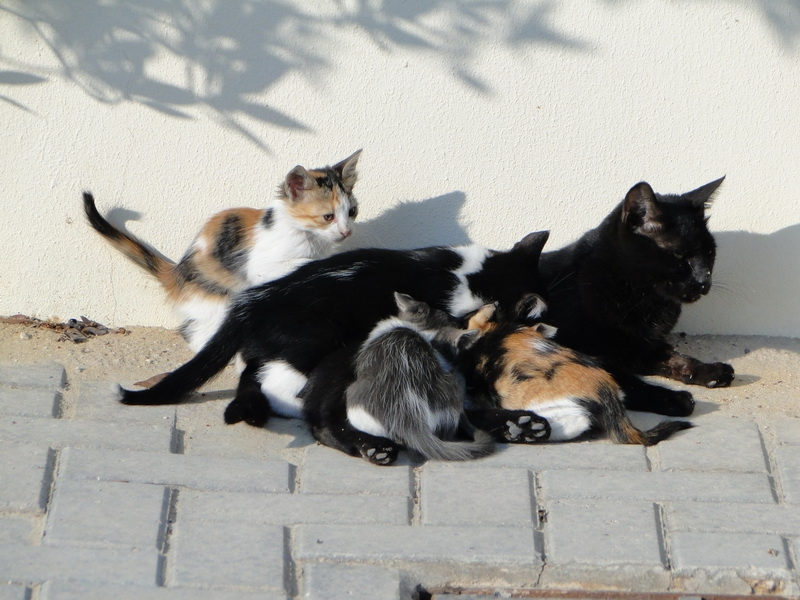 แม่แมวสีดำกับลูกแมวสามสี