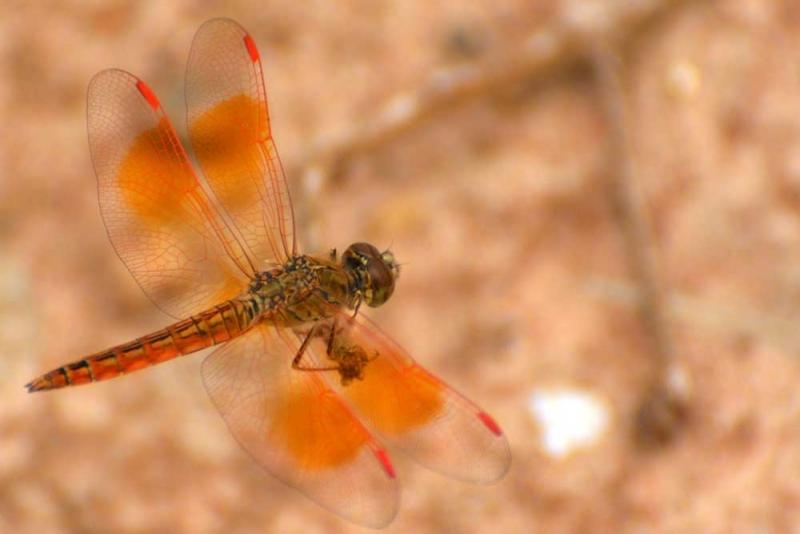 แมลงปอ ชนิดที่2.jpg