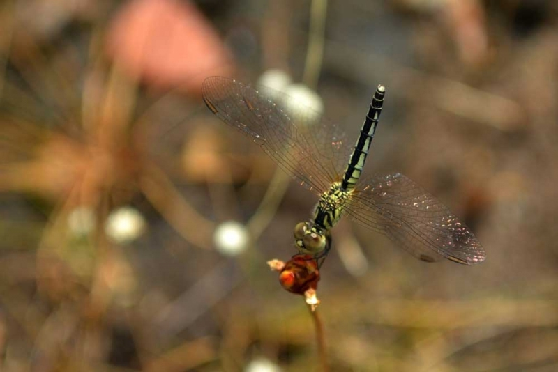 แมลงปอ4.jpg