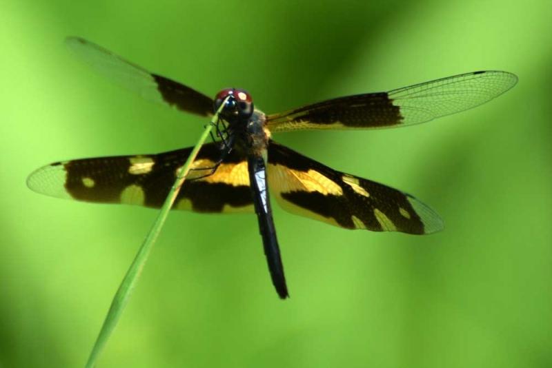 แมลงปอ ชนิด2 02.jpg