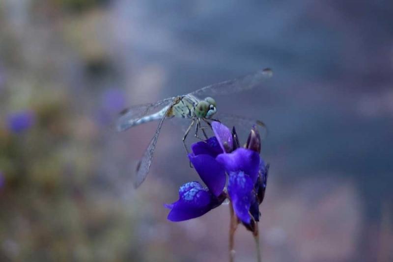 แมลงปอ5.jpg