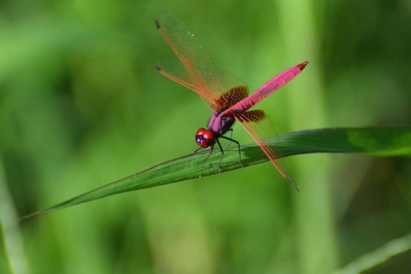 แมลงปอชนิด202.jpg
