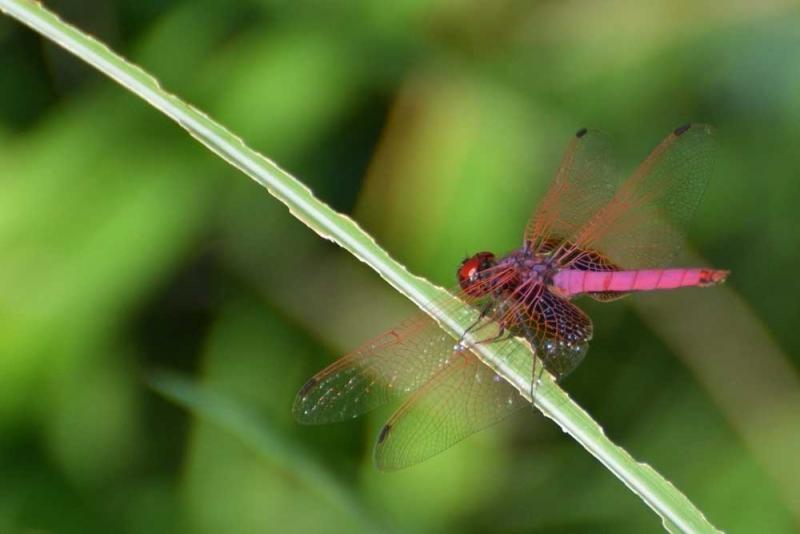แมลงปอชนิด201.jpg