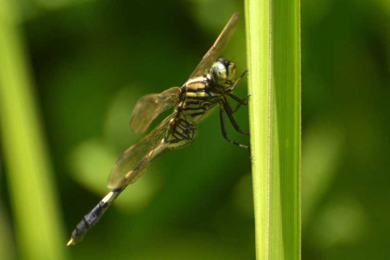 แมลงปอ ชนิด3.jpg