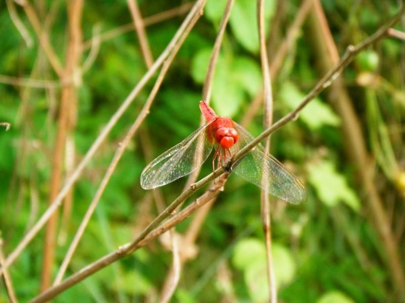 Crocothemis servilia servilia แมลงปอบ้านบ่อ ตัวผู้