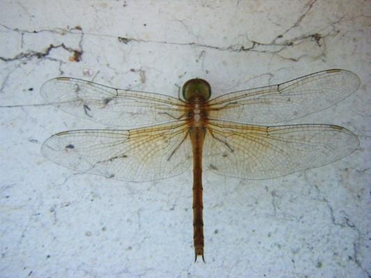 แมลงปอบ้านจุดสีน้ำตาลขาว ตัวเมีย