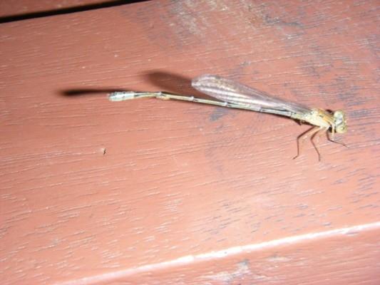 แมลงปอเข็มบ่อฟ้าเล็ก เพิ่งลอกคราบ