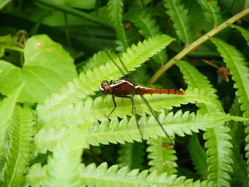 Rhodothemis rufa แมลงปอบ้านสันหลังเหลือง