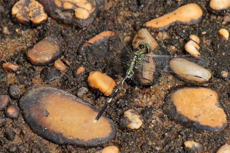 แมลงปอ3.jpg