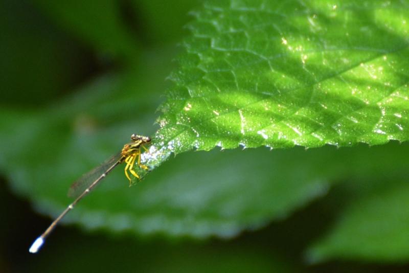แมลงปอเข็ม ชนิด1