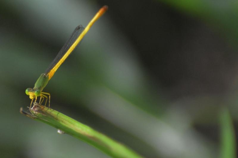 แมลงปอเข็มอินโดจีน