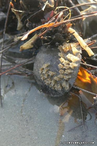 อันนี้ก็เป็นไข่หอยฝาเดียว ไม่แน่ใจว่าชนิดใด แต่แถบนั้นเห็นมีหอยปากกระจาดเดินๆ อยู่