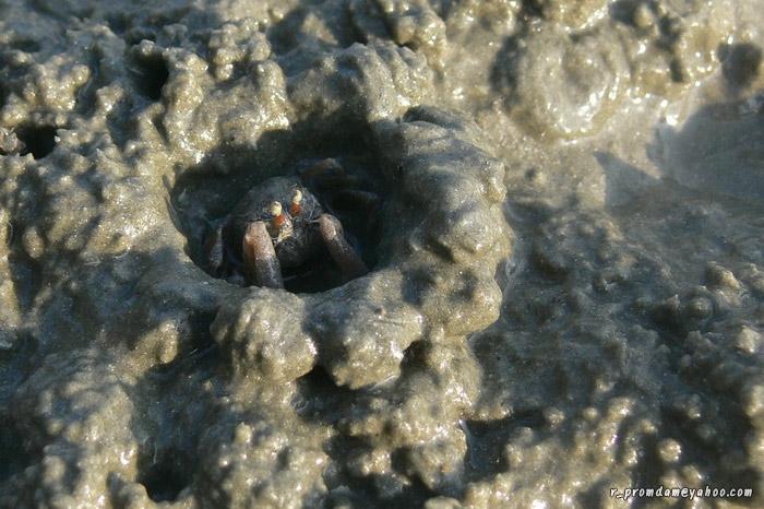 ในโซนเขตน้ำขึ้นน้ำลงมีปูทหารชนิด Dotilla mictyroides อยู่เยอะ โดยเฉพาะตรงก้นอ่าวเชิงเขา ตัวนี้กำลังสังเกตการณ์อยู่ในบังเกอร์ของมัน