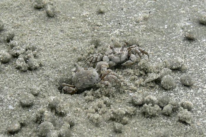ปูปั้นทราย Scopimera sp. ยังไม่ได้ลองจำแนกดู แต่คาดว่าจะเป็น S. proxima