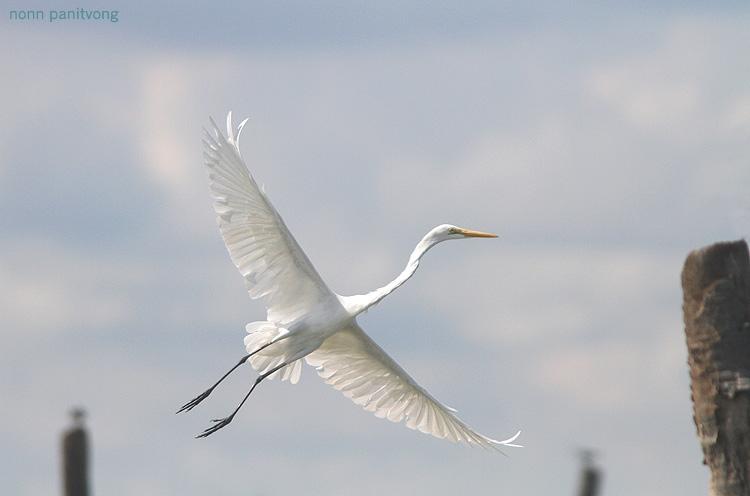 b_great_egret_fly.jpg