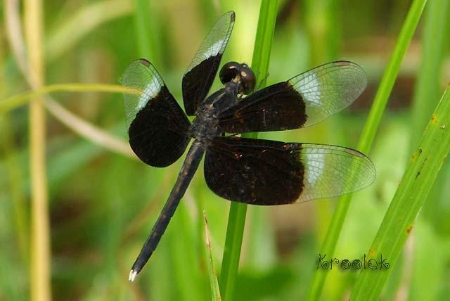 ตัวที่18 แมลงปอบ้านใหม่กึ่งปีกดำ ตัวผู้ Neurothemis tullia