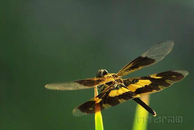ตัวที่10 แมลงปอบ้านไร่ปีกทองเปื้อน ดูไม่ออกว่าเพศใด  Rhyothemis variegata
