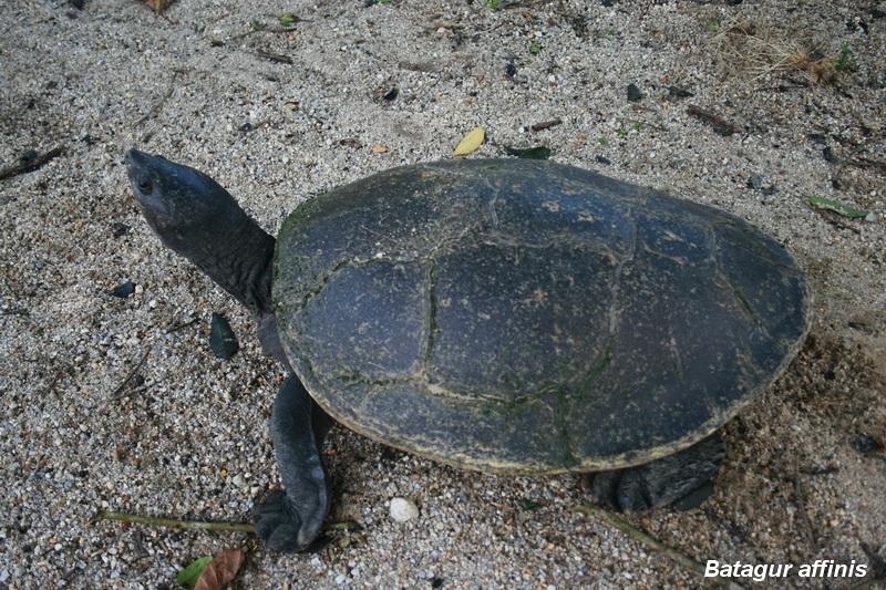 เต่ากระอาน (Batagur affinis affinis)