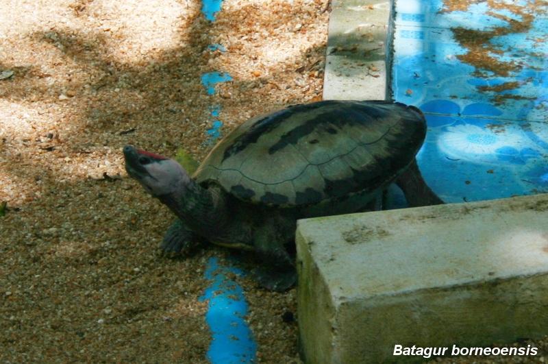 เต่าลายตีนเป็ด (Batagur borneoensis)